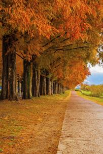 紅葉の季節のメタセコイア並木の写真素材 [FYI04845030]