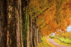 紅葉の季節のメタセコイア並木の写真素材 [FYI04845032]