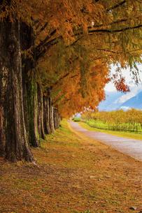 紅葉の季節のメタセコイア並木の写真素材 [FYI04845033]