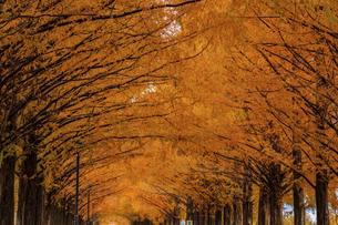 紅葉の季節のメタセコイア並木の写真素材 [FYI04845034]