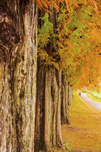 紅葉の季節のメタセコイア並木の写真素材 [FYI04845035]