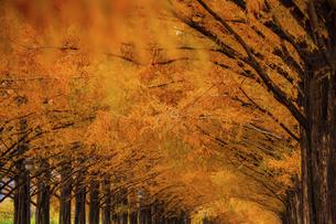 紅葉の季節のメタセコイア並木の写真素材 [FYI04845037]