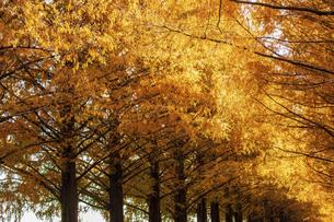紅葉の季節のメタセコイア並木の写真素材 [FYI04845041]