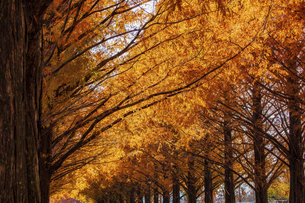 紅葉の季節のメタセコイア並木の写真素材 [FYI04845044]