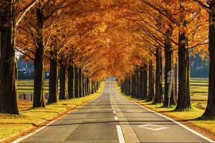 紅葉の季節のメタセコイア並木の写真素材 [FYI04845045]