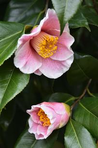 縁取りのあるピンク色のツバキの花(ツバキ科ツバキ属の常緑樹)とつぼみと葉の写真素材 [FYI04845064]