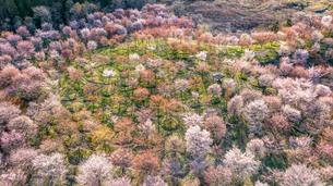 満開の桜峠の写真素材 [FYI04845113]