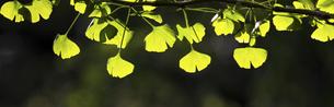 バナーサイズに切り抜いた銀杏の若葉画像の写真素材 [FYI04845115]