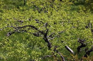 柿の木の新緑の写真素材 [FYI04845116]
