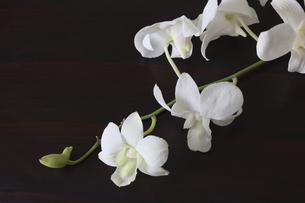 黒背景の白いデンファレの写真素材 [FYI04845118]