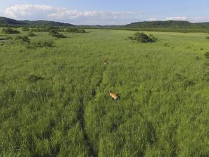空撮・夏の釧路湿原とエゾシカの雌(北海道・標茶町)の写真素材 [FYI04845248]