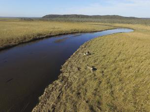 空撮・秋の釧路湿原とエゾシカの雌(北海道・鶴居村)の写真素材 [FYI04845249]