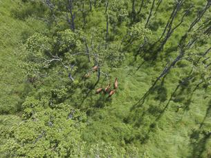 空撮・ハンノキ林に隠れるエゾシカの群(北海道・鶴居村)の写真素材 [FYI04845250]