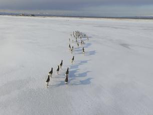 空撮・雪原を走るエゾシカの群(北海道・標津町)の写真素材 [FYI04845253]