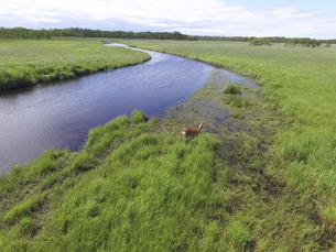 空撮・夏の釧路湿原とエゾシカの雌(北海道・鶴居村)の写真素材 [FYI04845257]