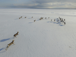 空撮・雪原を走るエゾシカの群(北海道・標津町)の写真素材 [FYI04845258]