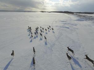 空撮・雪原を走るエゾシカの群(北海道・標津町)の写真素材 [FYI04845259]