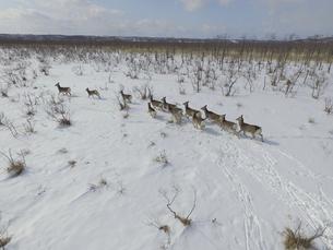 空撮・冬の釧路湿原を走るエゾシカの群(北海道・標茶町)の写真素材 [FYI04845262]
