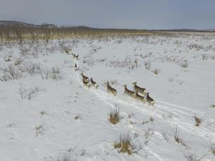 空撮・冬の釧路湿原を走るエゾシカの群(北海道・標茶町)の写真素材 [FYI04845263]