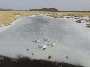 空撮・冬の釧路湿原とオオハクチョウ(北海道・標茶町)の写真素材 [FYI04845264]