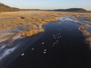 空撮・初冬の釧路湿原に群れるオオハクチョウ(北海道・標茶町)の写真素材 [FYI04845267]