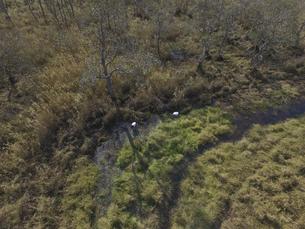 空撮・釧路湿原で餌を探すタンチョウ(北海道・鶴居村)の写真素材 [FYI04845272]