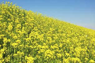 菜の花の群生の写真素材 [FYI04845339]