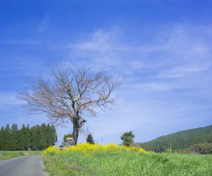 熊本県 小国町 自然  風景 前原の一本桜の写真素材 [FYI04845437]