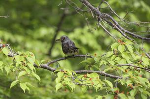 桜の木にとまるヒヨドリの写真素材 [FYI04845452]