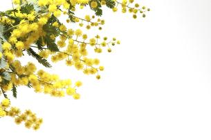 白バックのミモザの花 の写真素材 [FYI04845454]