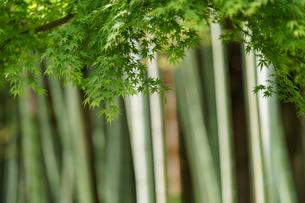 青紅葉と竹林の写真素材 [FYI04845550]