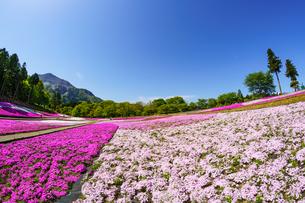 武甲山と青空と芝桜の丘の写真素材 [FYI04845552]