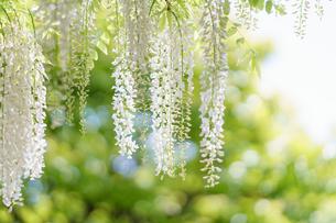 光に煌く白藤の花の写真素材 [FYI04845555]