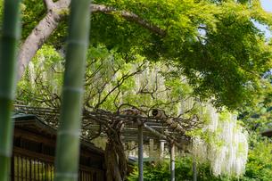 竹と新緑と満開の白藤の写真素材 [FYI04845558]