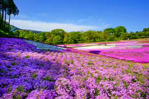 青空と芝桜の丘の写真素材 [FYI04845559]
