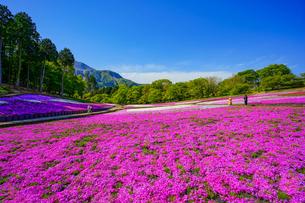 青空と芝桜の丘の写真素材 [FYI04845565]