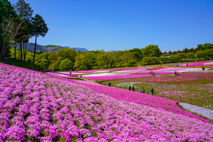青空と芝桜の絨毯の写真素材 [FYI04845569]