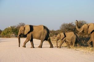 列になって道路を横断するアフリカゾウの群れの写真素材 [FYI04845576]