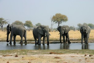 一列になって水を飲むアフリカゾウの群れの写真素材 [FYI04845579]