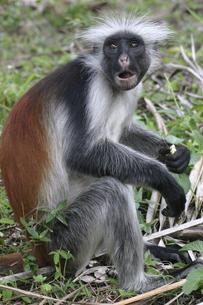 ザンジバル島の固有種レッドコロブスの写真素材 [FYI04845586]