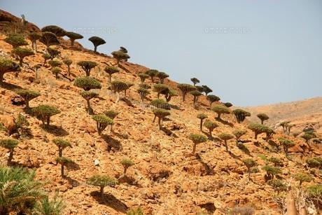 イエメン・ソコトラ島の竜血樹の森の写真素材 [FYI04845588]