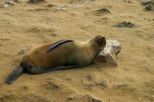 岩を枕にして寝るミナミアフリカオットセイの写真素材 [FYI04845598]