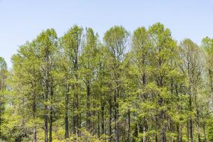 新緑のメタセコイヤの並木の写真素材 [FYI04845925]