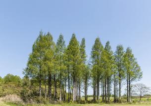 新緑のメタセコイヤの木の写真素材 [FYI04845927]