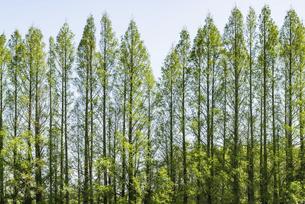 新緑のメタセコイヤの並木の写真素材 [FYI04845929]