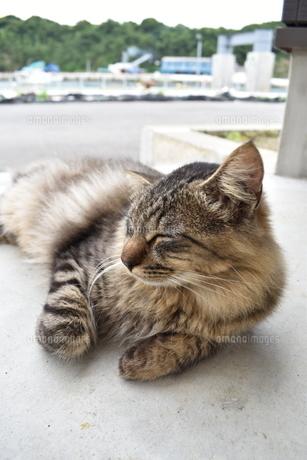 田代島の猫の写真素材 [FYI04845950]