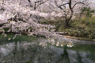 弘前市 弘前公園の満開の桜の写真素材 [FYI04846014]