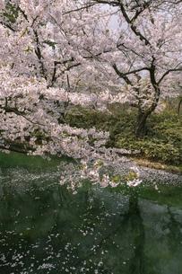 弘前市 弘前公園の満開の桜の写真素材 [FYI04846015]
