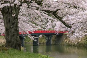 弘前市 弘前公園の満開の桜の写真素材 [FYI04846016]