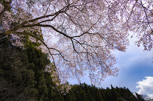 頭上の桜の写真素材 [FYI04846113]